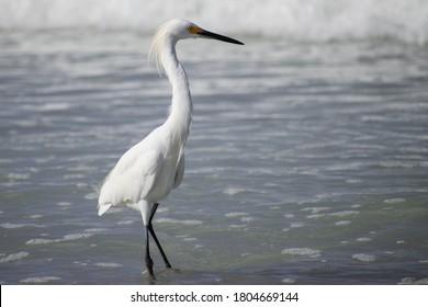 Snowy Egret Standing in Ankle Deep Foamy Water on the Shoreline