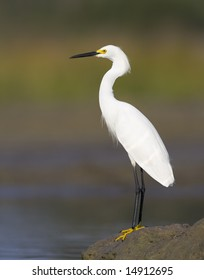 Snowy Egret standing by the water.
