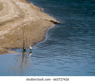 Snowy Egret standing next to a bush in a lake hunting for food