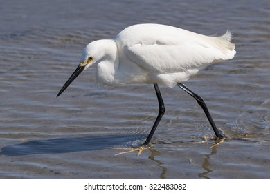 Snowy Egret strolling through the water at low tide looking for a meal.