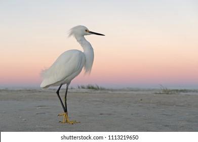 Snowy egret, egret, sunrise, sun, beach, Florida.