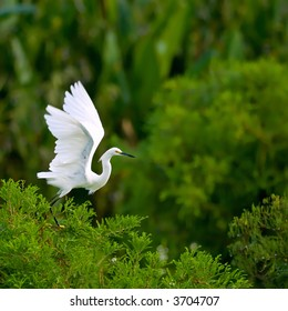 snowy egret takes flight from cypress tree in florida wetland with lots of copy space