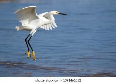 Snowy Egret taking flight off the Pacific Coast in Costa Rica