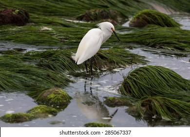 Snowy Egret tide pool reflection