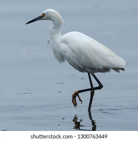 Snowy Egret wading on the shore