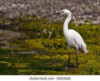 Snowy Egret wading in a swamp (3)