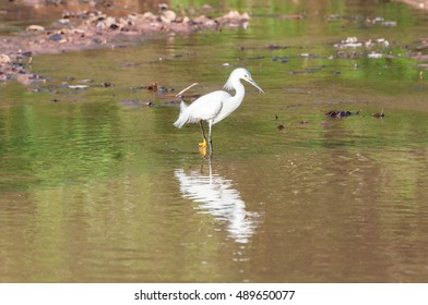 Snowy Egret walking along the lakefront hunting some food with its feet in the water. Bird reflected in the lake water.