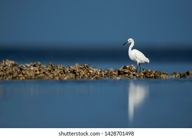 A Snowy Egret walks on an oyster bed in the bright sun with a blue ocean and sky background.