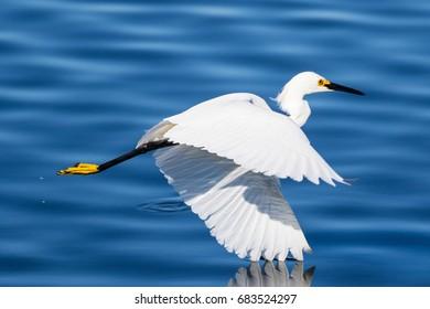 Snowy egret wingtip dip