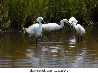 Snowy egrets, egretta thula, fishing in the marshes