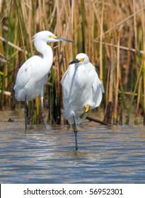 Snowy Egrets in a gulf coast marsh