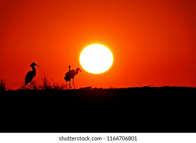 Snowy egrets silhouetted against orange sunset and black foreground.