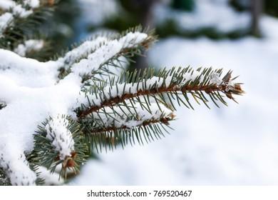 snowy fir tree branches
