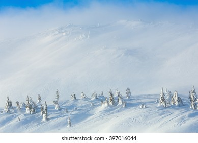 Snowy fir trees on winter morning hill in cloudy weather.