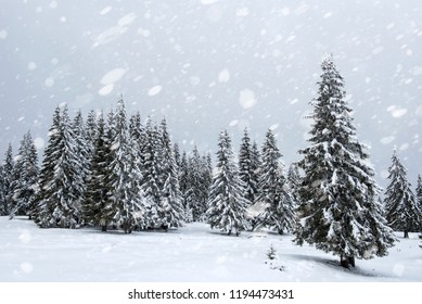 Snowy fir trees in winter forest at snowfall. Snowflakes and Christmas concept