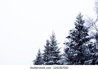 Snowy firs in Sweden