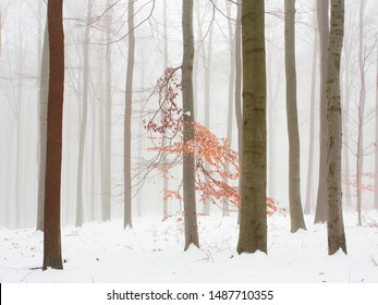 Snowy foggy winter forest with leftover leaves in orange tinge of autumn.