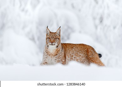 Snowy forest with beautiful animal wild lynx, Germany. Eurasian Lynx walking, wild cat in the forest with snow. Wildlife scene from winter nature. Cute big cat in habitat, cold condition.