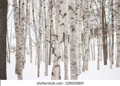 Snowy forest of Birch