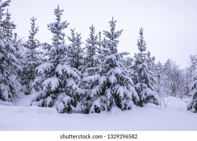 Snowy forest. Fir trees in winter landscape with thick snow.