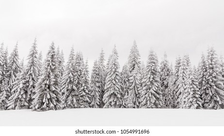 Snowy forest of pines