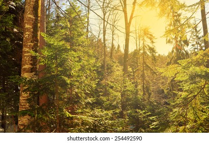 Snowy forest and rays of sunrise coming through the trees, winter natural scene