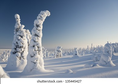 Snowy forest with slim tall trees and blue sky in Lapland, Finland