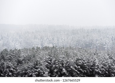 Snowy forest trees in the mist