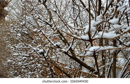 Snowy hedge branches
