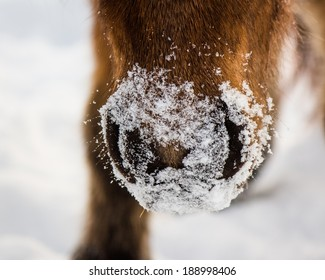 Snowy Horse Muzzle