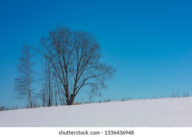 Snowy landscape with two leafless trees in Finland. In the background a bright blue sky.