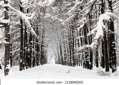 snowy larch alley in urban Timiryazevskiy park in Moscow city in winter