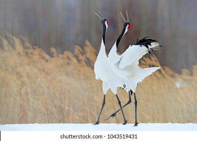 Snowy meadow, with dancing cranes, Hokkaido, Japan. Winter scene with snowflakes. Red-crowned cranes pair, breeding season.