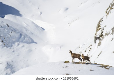 snowy mountain chamois
