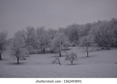 SNOWY ON WINTER TREES