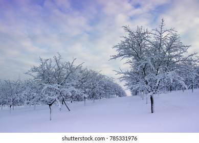 snowy orchard during sunset, fruit trees in winter landscape