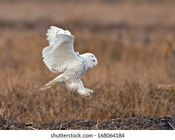 A snowy owl about to land on the marshlands of Boundary Bay in British Columbia