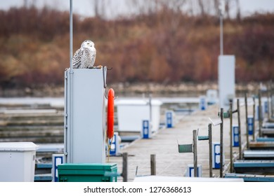 A Snowy owl appoints herself as harbourmaster at Colonel Samuel Smith Park in Toronto, Ontario.  Snowy owls are considered vulnerable to extinction.