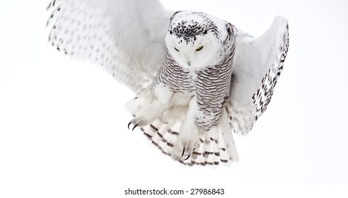 The Snowy Owl is an Arctic bird that may migrate south if food stocks diminish.