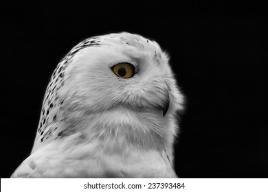 snowy owl black and white with color eye