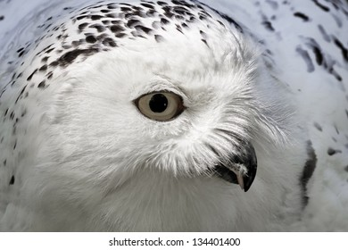 Snowy Owl (Bubo scandiacus) Arctic Owl, Great White Owl, Icelandic Snow Owl from Northern Europe