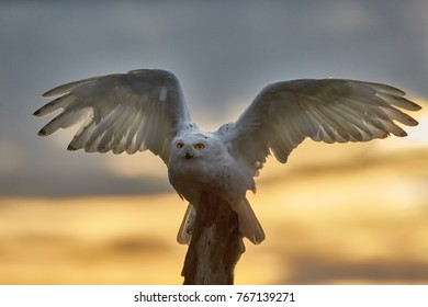 Snowy owl, Bubo scandiacus, beautiful white owl with black spots and bright yellow eyes, sitting on tree trunk with outstretched wings against dramatic evening sky, staring directly at camera.