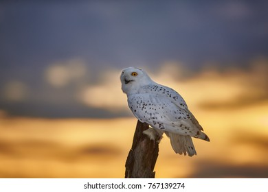 Snowy owl, Bubo scandiacus, beautiful white owl with black spots and bright yellow eyes, sitting on tree trunk with opened beak against dramatic yellow evening sky, staring directly at camera.