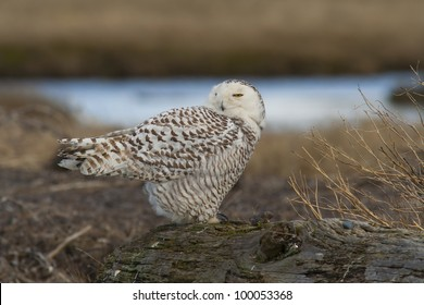 Snowy Owl (Bubo scandiacus) at Boundary Bay, BC, Canada