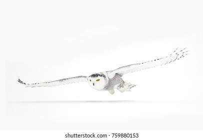 Snowy owl Bubo scandiacus closeup isolated on white background about to pounce on its prey on a snow covered field in Ottawa, Canada
