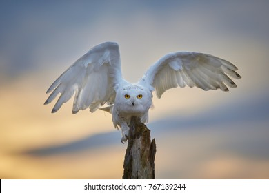 Snowy owl, Bubo scandiacus, famous white owl with black spots and bright yellow eyes, sitting on tree trunk and preparing for take off with outstretched wings, staring directly at camera.