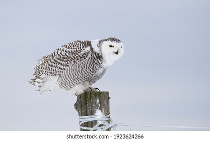 Snowy owl (Bubo scandiacus) female perched on a post in winter hunting over a snow covered field in Ottawa, Canada