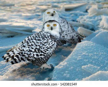 Snowy Owl (Bubo scandiacus) at ice area