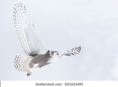 Snowy owl Bubo scandiacus isolated on blue background flying high hunting over a snow covered field in Ottawa, Canada