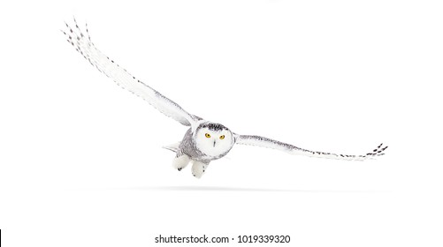 Snowy owl Bubo scandiacus isolated on white background flies low hunting over an open snowy field in Ottawa, Canada